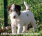 chiot fox terrier