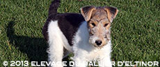 chiots fox terriers