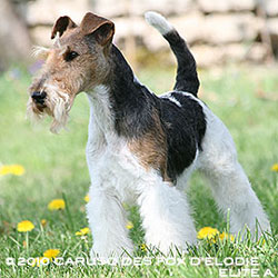 Caruso fox terrier mâle