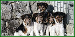 chiots de Willy-Nilly