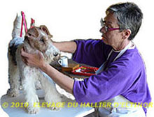 Epilation Bluma fox terrier