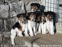 Chiots fox-terriers